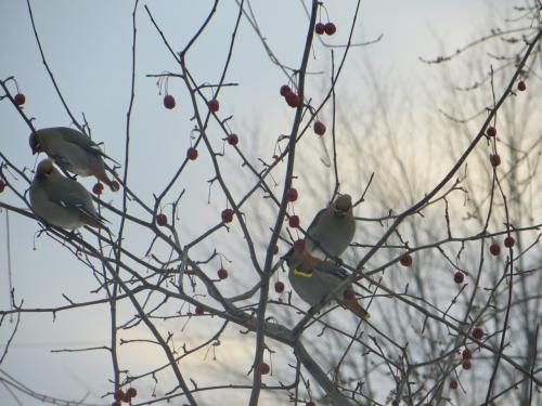oiseaux, jaseur des cèdres, arvida