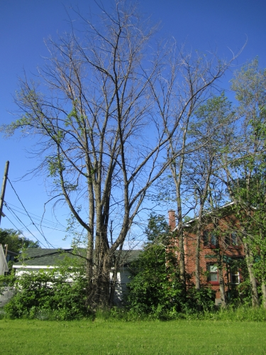 orme,arbre,abattu,arvida,maladie hollandaise