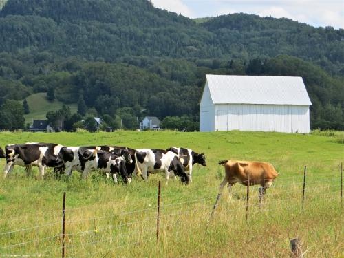 l'anse-saint-jean,ferme,grange jaune,vaches,nature,verdure