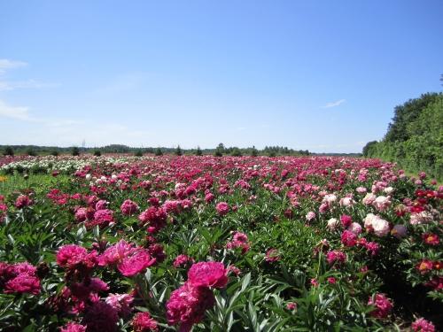 pivoines,sortie,amis,champ, fleurs Maltais
