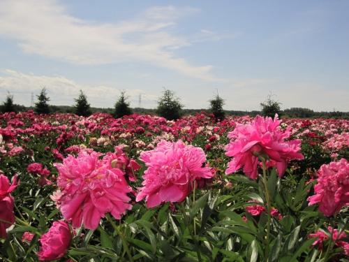 pivoines, fleurs Maltais