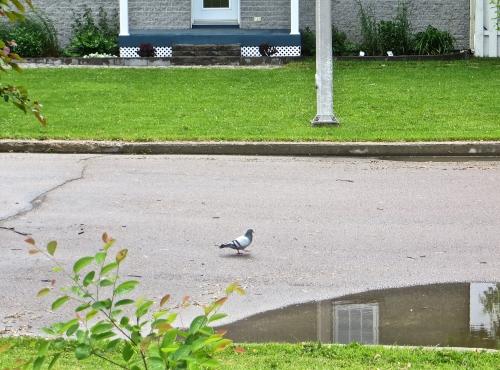Arvida, pigeons, oiseaux, étrange