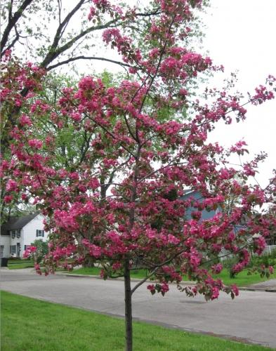 arbres,vent,pommetier,fleurs,jack