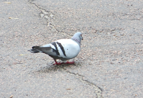 arvida,pigeons,oiseaux,étrange