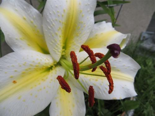 fleur de lys,lys,windsor,jardin