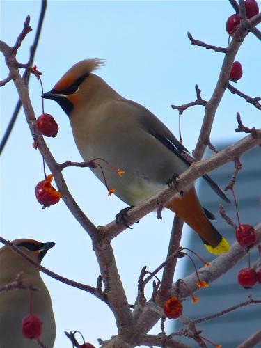 oiseaux,jaseur des cèdres,arvida