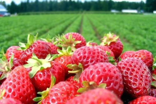 fraiseChamp.jpg