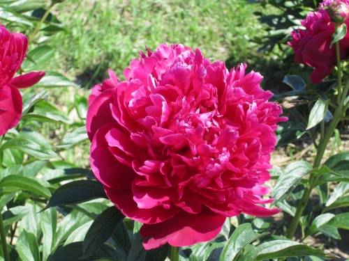 pivoines,fleurs maltais,nature,couleur